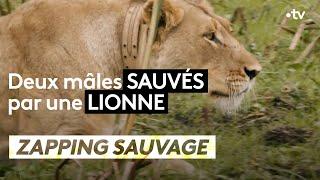 Deux mâles sauvés par une lionne - ZAPPING SAUVAGE