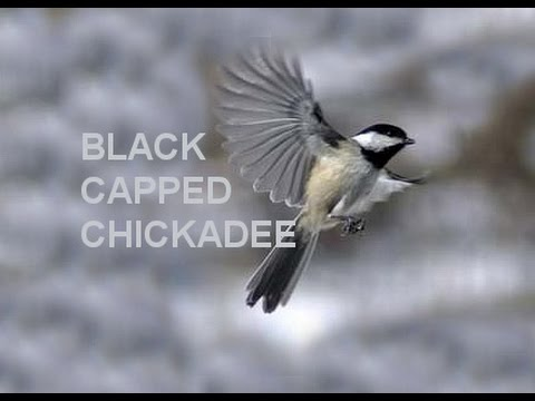 Black Capped Chickadee, Flying in SLOW motion