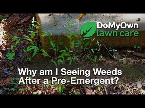 Wondering Why You May Still Have Weeds Following A Pre Emergent Lication Learn How Emergents Work And To Properly Ly Post Take