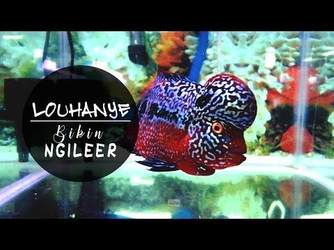 INI BARU LOUHAN!!! 10 Ikan Louhan Idaman Pecinta Ikan HIas