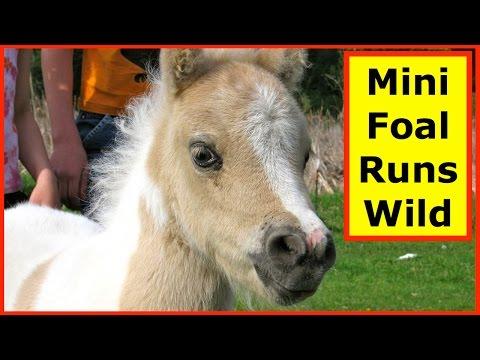 Cute Baby Miniature Horse Runs Wild