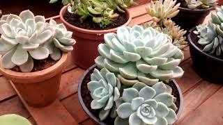Dicas essenciais Para cultivar Suculentas