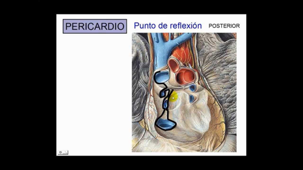 Anatomía del corazón COMPLETO - Dr. Leonardo Coscarelli. - YouTube