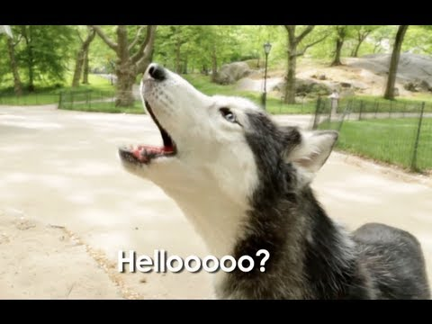 Mishka the Talking Husky is Lost In Central Park!