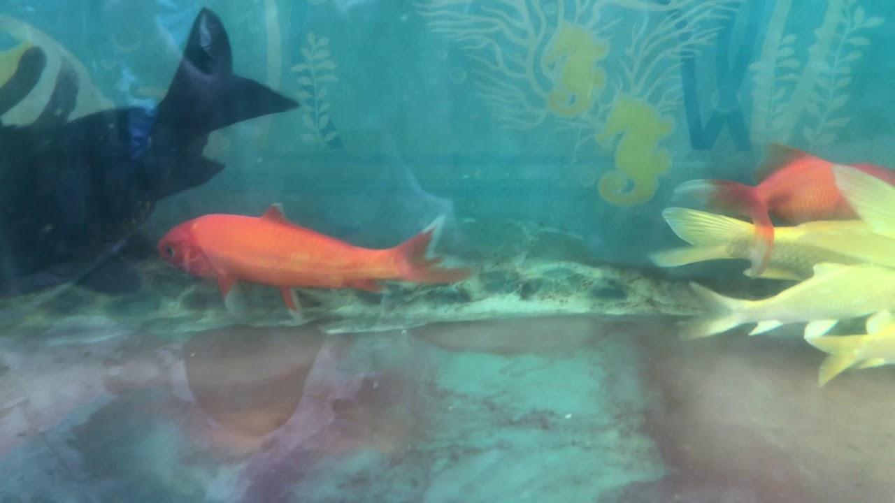 Hướng dẫn nuôi cá koi trên hồ kiếng