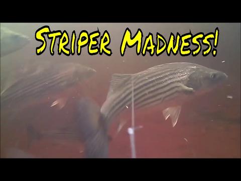 Striper Madness On The Miramichi River 2017-Underwater Views