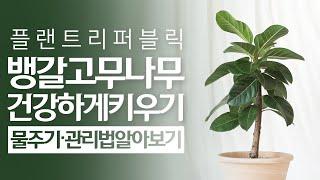 SUB) 뱅갈고무나무 식물 키우기, 물주기 관리 꿀팁 …