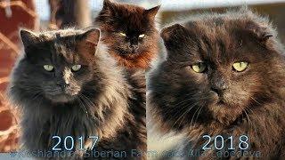 Зеленоглазый 2017 и 2018 и Марго  Green eyed Dad #Koshlandia Siberian Farm #cats