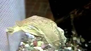 Дальневосточная черепаха / Pelodiscus Sinensis
