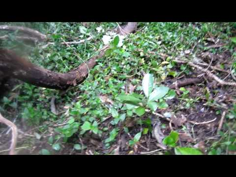 Dog allergies-wandering jew.MOV