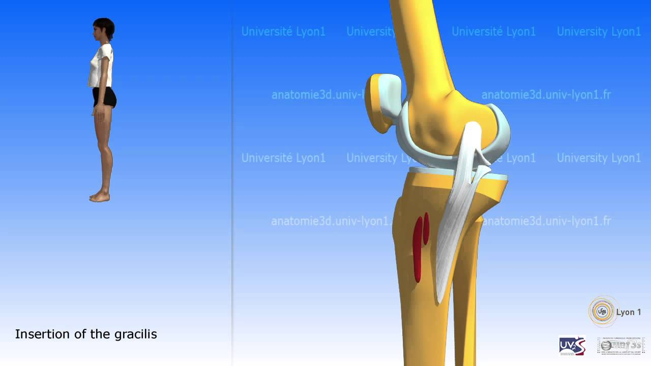 The Sartorius And The Muscles Of The Pes Anserinus Youtube