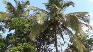 Индия ГОА 2016. Окрестности города Колвы (Colva). Отель Star Beach Resort(Курорт Колва является центром туристического отдыха Южного Гоа. Право открытия этого места принадлежит..., 2016-03-27T07:23:06.000Z)