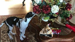 Great Dane and Puppy Have Fun Playing With Christmas Hats and Decorations
