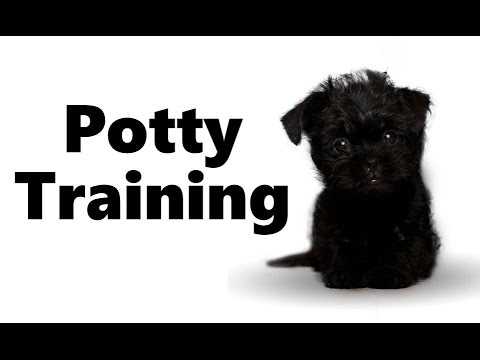 How To Potty Train An Affenpinscher Puppy - Affenpinscher House Training - Affenpinscher Puppies