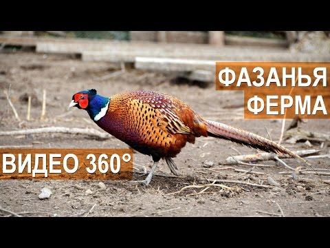 Панорамное видео 360° 4K. Фазанья ферма Русское Подворье.