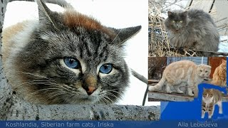 #1 Cat With Blue Eyes,Cat with green eyes, Ириска и Женихи, Iriska and Groomsman