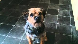 Border Terrier Performing Dog Tricks