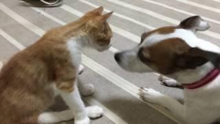 2ヶ月前子猫を襲ってしまい、子猫は後ろ足が立たなくなったが、今じゃ大...