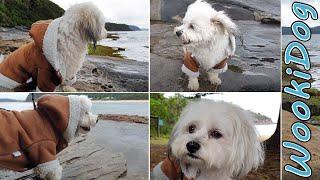 Full Grown Malshi Dogs RELAXING Rainy Oceanside Dog Walk [Full Version]  Wookidog 4K Dog Video