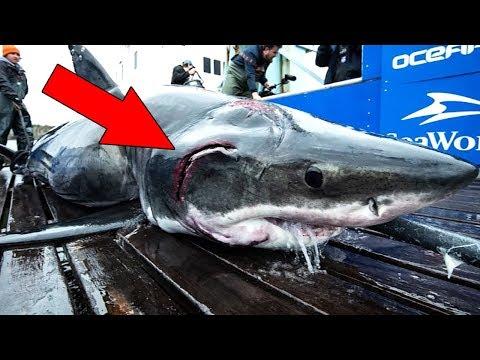 Verwundeter Weißer Hai wurde im Meer gefunden. 9 erstaunliche Funde