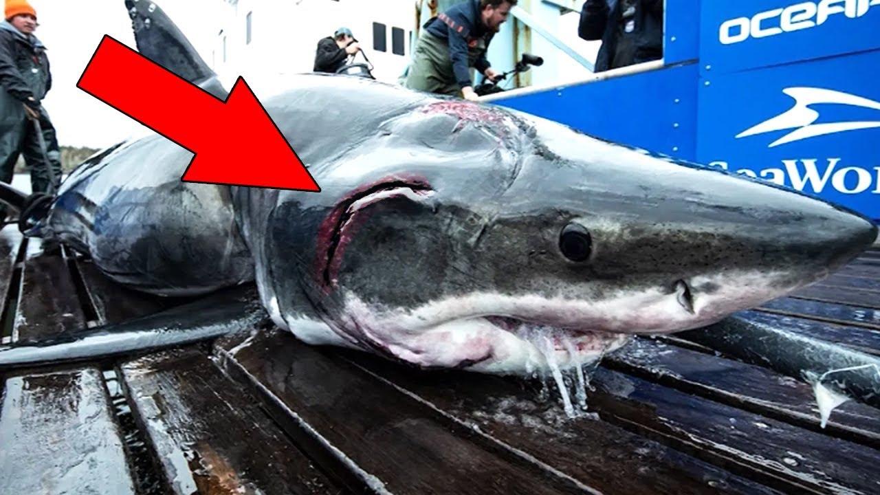 Youtube Weißer Hai