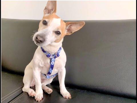 Tuto / DIY : Coudre un harnais réglable pour chien