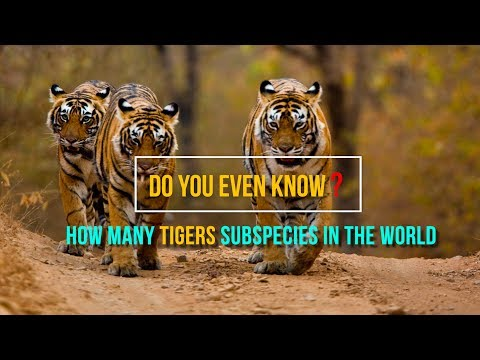 Do You Even Know How Many Tigers Subspecies In The World???