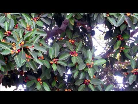Фикус мелкоплодный!Ficus microcarpa.Кирьят-Ям.Израиль.Kiryat-Yam. Israel.