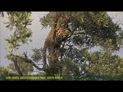 Leopards hide in treetops to escape wild dog attack