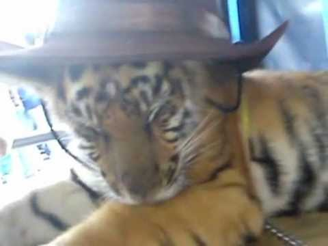 Cute Tiger cubs with a Cowboy Hat!!! - YouTube 534e94c13f4