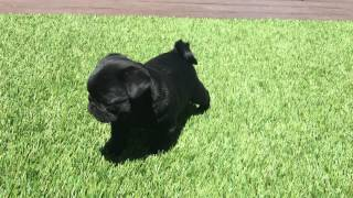 Iggy The Rare Akc Black Champion Line Male Pug Born March 5, 2015