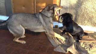 Озорные собаки