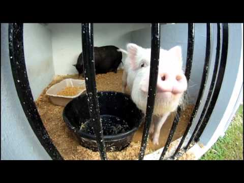 #2 Pigs at Agricultural Exhibition Bermuda Apr 18 2012