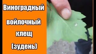 Виноградный войлочный клещ (зудень)