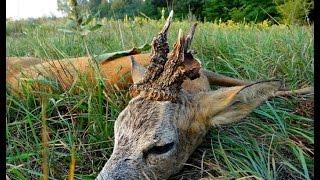 Amazing roebuck hunted with calling - Niesamowity rogacz - polowanie z wabikiem Chevreuil chasse