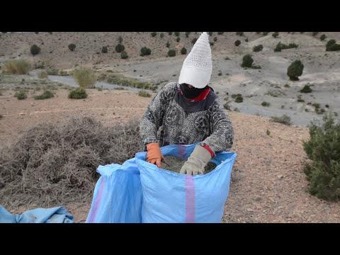 Rosemary Harvest Morocco V2