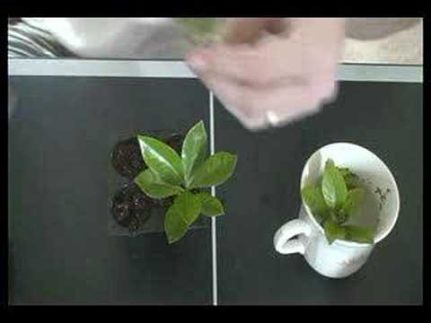 how to clone any plant for hydroponic or regular gardening youtube. Black Bedroom Furniture Sets. Home Design Ideas