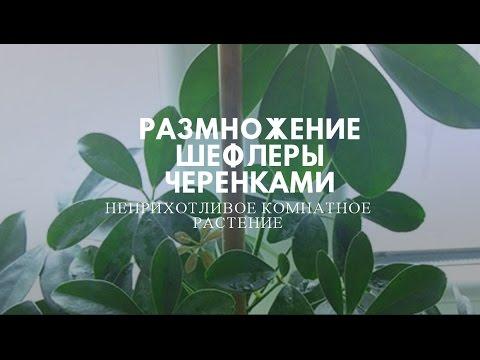 Неприхотливое комнатное растение- Шефлера