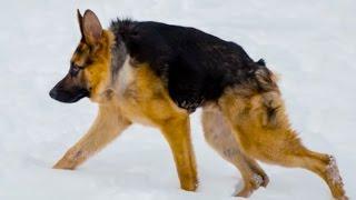 ШОК   Короткий позвоночник   Dog - short spine syndrome