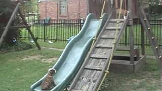 Bulldog puppies try out the slide