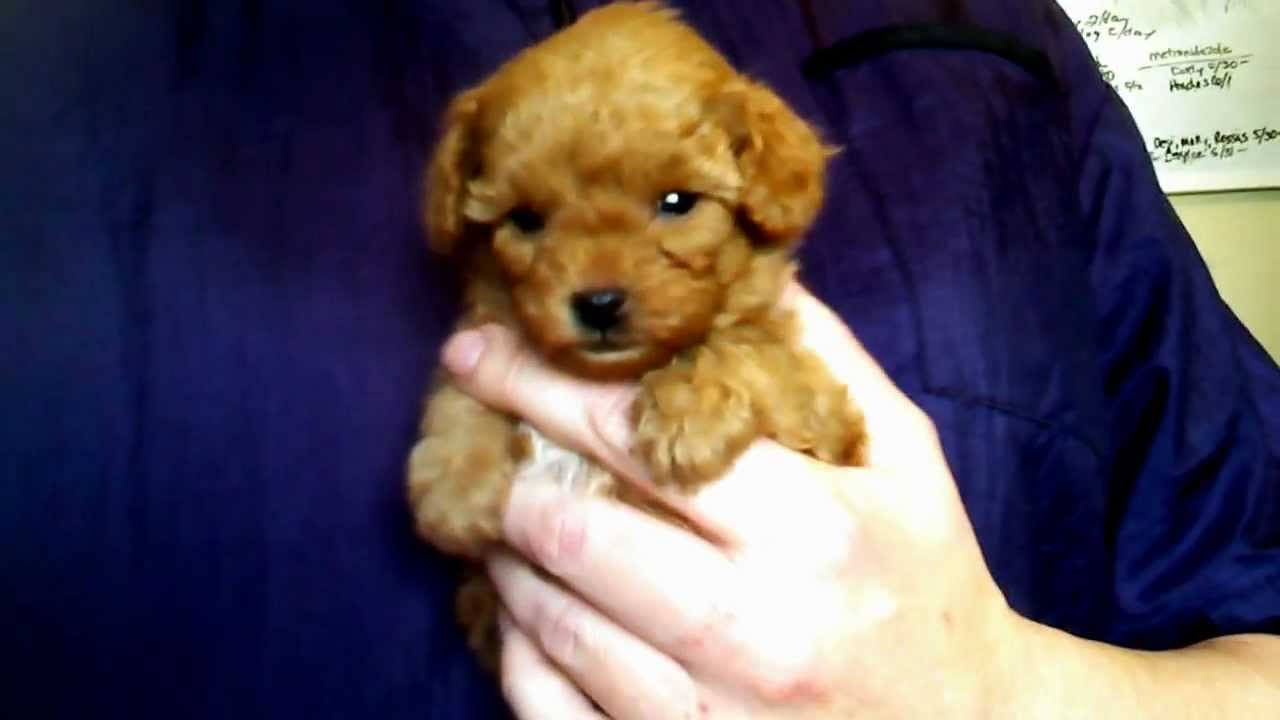 Keelee Red Teacup Poodle For Sale Youtube