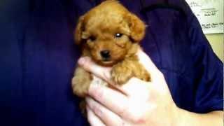 Keelee Red Teacup Poodle - For Sale