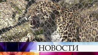 В Сочинском центре реабилитации леопардов готовят животных к дикой природе.
