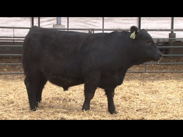 Schiefelbein Angus Farms Lot 167