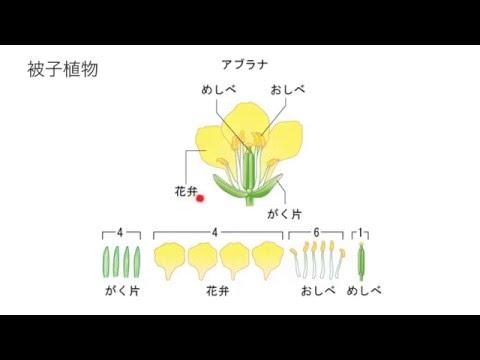 アブラナ の 花 の 作り