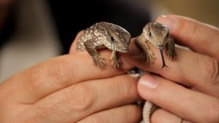 3 Cool Facts about Savannah Monitor | Pet Reptiles