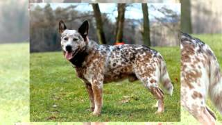Australian Cattle Dog Training