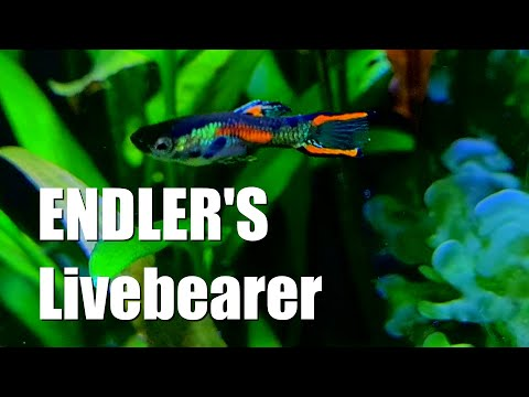 ENDLER'S Livebearer | Fantastic NANO Fish | The OTHER Guppy Fish
