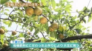 茨城の秋の味覚・梨が今年もおいしい季節となりました。 今回の旬刊いば...
