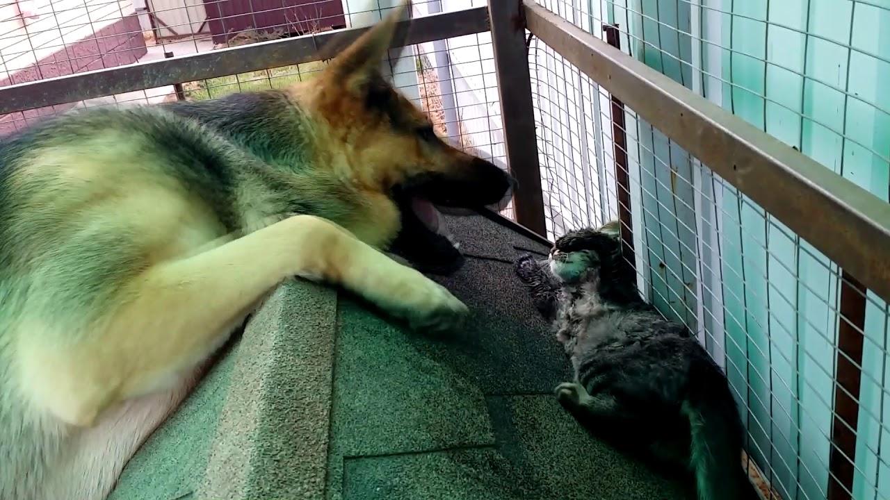 Дружба маленького котёнка и большой злой собаки